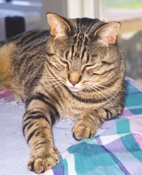 photo of tabby cat, William