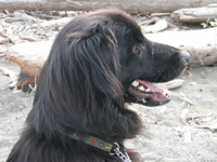 photo of Sidney, black dog