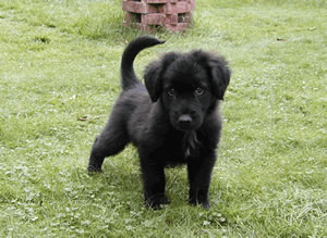 Sidney, the new arrival, small black puppy